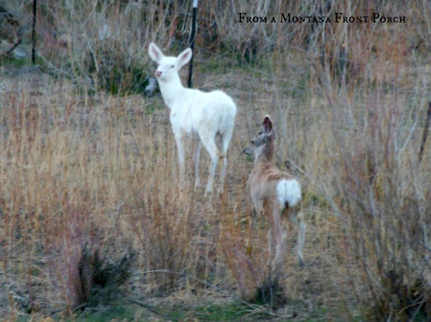 Albino Deer~ From a Montana Front Porch